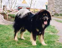 Tibetanski Mastif Srbija